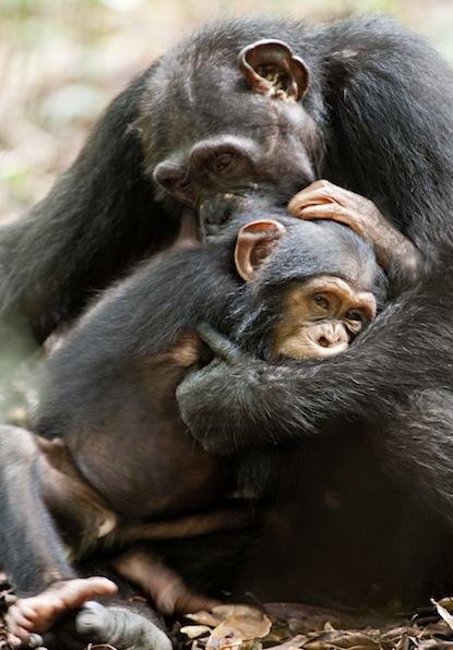 Chimpanzee-oscar-freddy