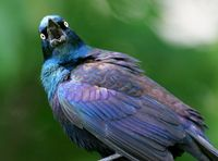 Common_grackle_yard_20070516_01